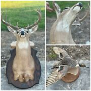Deer Head Mount Taxidermy Lot Extremely Great Hunting Stuffed Duck Ranch Decor