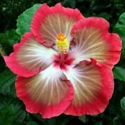20 White Pink Red Hibiscus Seeds Flower Seed Flowers Perennial 265 Us Seller