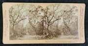 Antique American Stereoview - Myrtle Avenue Fort George Island Florida