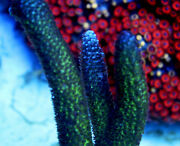 Blue Flame Staghorn Acropora Sps Coral