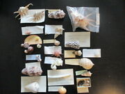 Huge Lot Of Sea Shells 75 - 100 Museum Pieces Murex Turbo Spiny Cones Coral