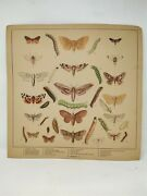 Collectible Old Types Of Moths British School Educational Poster Chart Paper
