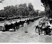 1948 Original Photo Arabs Feed Water Buffalo As They Drink From Troughs In Egypt