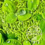 1cup Mix Dwarf Water Lettuce And Duck Weed For Pond Aquarium Aquatic Live Plants