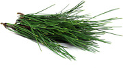 Wild Harvest Pine Needle Tea 5 Ounces Brew Your Own Tea Fresh Harvested Daily