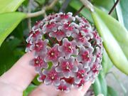 Hoya Pubicalyx - Red Buttons - Wax Plant - 5 Long Cuttings 5