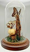 Vintage Real Butterfly Display Taxidermy Mixed Mounted Butterflies Glass Dome
