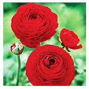 Red French Peony Ranunculus Corms - 12 Largest Size Corms