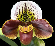 Paph. Cocoa Chilwin X Yi-ying Colorful Clouds Multi Growths 3.5 Pot