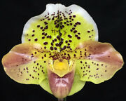 Paph. Rigmarole Razzmatazz And039royal Alertand039 X Spring Rain And039posh Frockand039 3.5 Pot