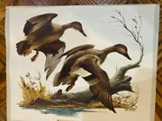 Gadwall Ducks  Print Sweeney 16x13 Vintage Great Colors And Details