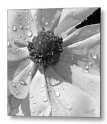 Anemone Poppy In Black And White Fine Art Print On Metal Or Acrylic