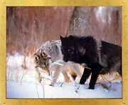 Wild Black And Timber Gray Wolf Animal Wall Decor Golden Framed Picture 18x22