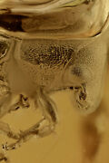 Great Looking Fungus Weevil Anthribidae And Bubble Baltic Amber + Hq Pic 191106