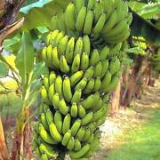 Banana Live Plants Fruit Grand Nain Plant Four 4 Garden Outdoor Yard Best Gift