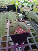 Live Plants Silk Mimosa Trees Fragrant Pink Flowering Albizia Free Shipping