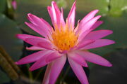 Live Tropical Star Pink Flower Cold Hardy Waterlily Aquatic Pond Plant