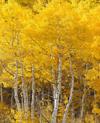 3-50 Quaking Aspen Trees Populus Tremuloides Live Bareroot 18-24 Inches Tall