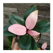 Wholesale 10 Philodendron Pink Congo Free Phytosanitary And Send With Dhl