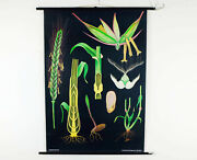 Vintage School Chart Rye Botanical Poster By Jung Koch Quentell For Hagemann 60s