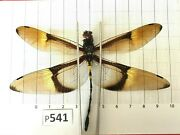 P541 Odonata Dragonfly Insect Central Vietnam