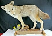 Taxidermy Animal Coyote Full Body Mount Natural-hunting-cabin Dandeacutecor-outdoors