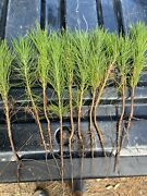 10 Loblolly Pine Tree Seedlings 12-15 Inches Perfect Transplant Size