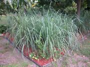 Live Lemongrass Plant East Indian Cymbopogan Flexuosus And 1000 Seed Packet Combo