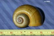 Extra Extra Large Hermit Crab Home / Craft Shells / Fish Tank Decorations