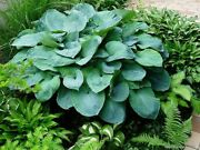 Perennial Shade Plant Giant Blue Hosta And039elegansand039 Plantain Lily Partial To Full