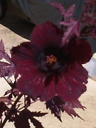 Hibiscus Acetosella Rare Cranberry Mahogany Live Plant Not Seeds False Rosell