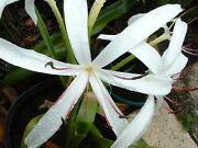 Crinum Lily Grab Bag 30 Bulbs At Least 10 Types - Over 50 Off