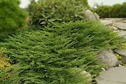 Of Wales Juniper - 60 Live Plants - Hardy Evergreen Groundcover