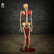 Early 19th C Human Female Skeleton Scientific Display Stand