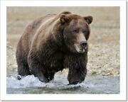 Grizzly Bear In River Catching Salmon. Art Print Home Decor Wall Art Poster