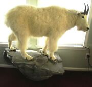 Mountain Goat Taxidermy Full Body Mount Floor Or Wall Beautiful Reading Pa.