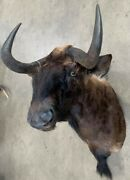 Taxidermy African Black Wildebeest Shoulder Mount Aprrox. 31and039and039x 20and039and039