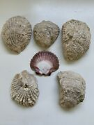 Sea Shells From Middle East Assorted Lot Of 6 Total Weight Over 2 Pounds