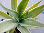 Agave Blue Flame Milky Silver Variegated Super Rare