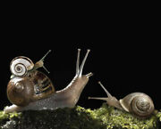 Live Land Snails Combo Mix Milk, White Garden, Brown Striped + 3 Free Gifts🐌