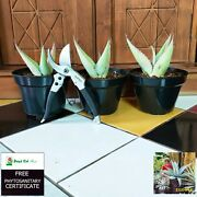 4 Plants Rare Agave Unknow Live Plant Tropical Giant - Free Phyto
