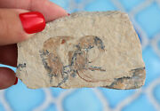 Jurassic Fossil Shrimp From Solnhofen Germany Double Trouble
