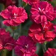 Frosty Fire Dianthus - Live Plants - Dianthus Allwoodii - Fragrant Cold Hardy