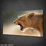 Lioness Sharp Teeth Roar Animal Canvas Print Wall Art Picture Ready To Hang