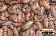 Dubia Roaches - Small, Medium, Large, And Xl Sizes - Priority Mail/fedex 2day