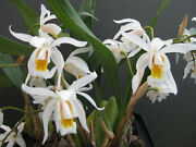 Coelogyne Unchained Melody, Orchid Plant In Spike