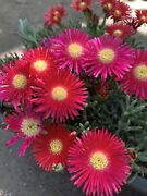 One Healthy Andldquojewel Of The Desertandrdquo Ice Plant Deep Red Color Big Blooms Rare