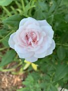 Two Spice Rose Bush Live Plant Old Garden Roses Antique - 1 Gallon Containers