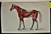 1911 Antique Diseases Of The Horse Illustrated Nervous System Blood Eye Wound +