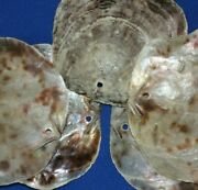 Drilled, Large Saddle Oysters Beach Wedding Seashell Crafts, Ss-61h